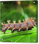 Comma Caterpillar Acrylic Print