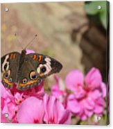 Common Buckeye Butterfly Acrylic Print