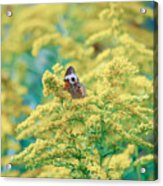 Common Buckeye Butterfly Hides In The Goldenrod Acrylic Print