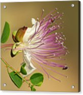 Common Caper Acrylic Print