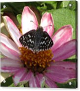 Common Checker Butterfly Acrylic Print