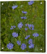 Common Chicory Wildflowers #1 Acrylic Print