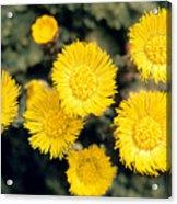 Common Coltsfoot  Acrylic Print