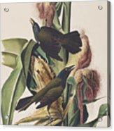 Common Crow Acrylic Print