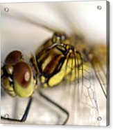 Common Darter  Dragonfly Compound Eye And Synthorax Acrylic Print