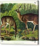 Common Deer Acrylic Print