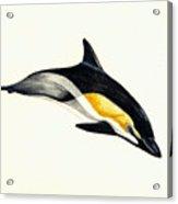 Common Dolphin Acrylic Print