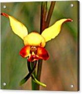 Common Donkey Orchid. Acrylic Print