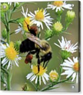 Common Eastern Bumblebee  Acrylic Print
