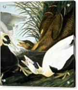 Common Eider, Eider Duck Acrylic Print