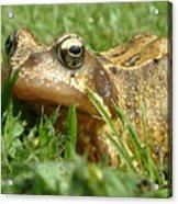 Common Frog Rana Temporaria Acrylic Print