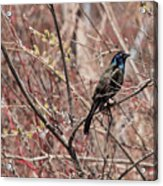 Common Grackle In Spring Acrylic Print