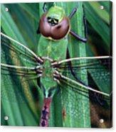 Common Green Darner Acrylic Print