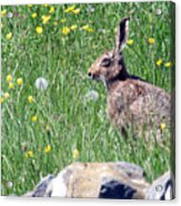 Common Hare Acrylic Print