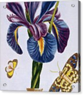 Common Iris With Butterflies Acrylic Print