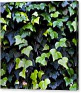 Common Ivy Acrylic Print