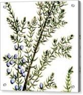 Common Juniper Alchemy Plant Acrylic Print