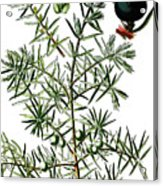 common juniper, Juniperus communis Acrylic Print