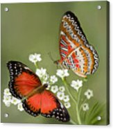 Common Lacewing Butterfly Acrylic Print by Thanh Thuy Nguyen