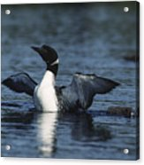 Common Loon Flaps Acrylic Print