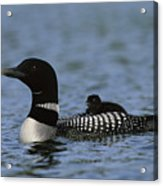 Common Loon Gavia Immer, With Baby Acrylic Print