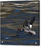Common Merganser Duck Acrylic Print