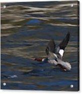Common Merganser Duck Acrylic Print