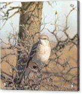 Common Mockingbird Acrylic Print