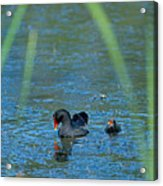 Common Moorhen And Her Baby Acrylic Print