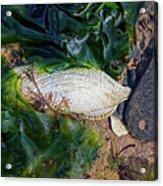 Common Piddock - Pholas Dactylus Acrylic Print