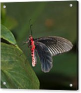 Common Rose Butterfly Acrylic Print