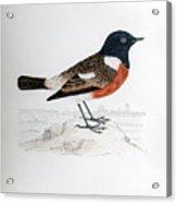 Common Stonechat Illustration Acrylic Print