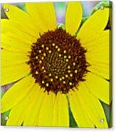 Common Sunflower In Northwest North Dakota Acrylic Print