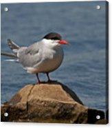 Common Tern... Acrylic Print by Nina Stavlund