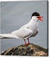 Common Tern Acrylic Print
