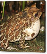 Common Toad Acrylic Print