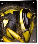 Common Wasp Vespula Vulgaris Close-up Acrylic Print