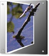 Common Whitetail Acrylic Print