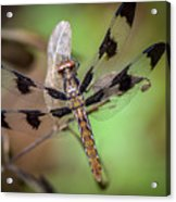 Common Whitetail Dragonfly Acrylic Print