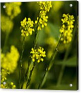 Common Wintercress Flowers Acrylic Print