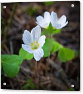 Common Wood Sorrel Acrylic Print