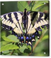Common Yellow Swallowtail Acrylic Print