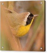 Common Yellow-throat In Hiding Acrylic Print