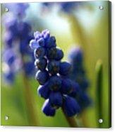 Compact Grape-hyacinth 2 Acrylic Print