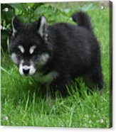 Concern Expressed On The Face Of An Alusky Pup Acrylic Print