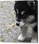Concern On The Face Of An Alusky Puppy Acrylic Print