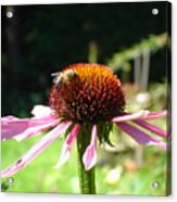 Cone Flower And Honey Bee Acrylic Print