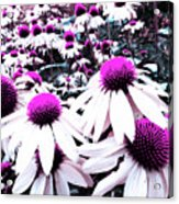 Cone Flower Delight Acrylic Print by Kevyn Bashore