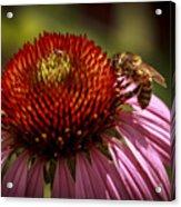 Coneflower Bee Acrylic Print