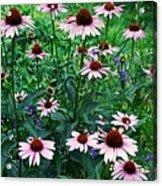 Coneflower Garden Acrylic Print